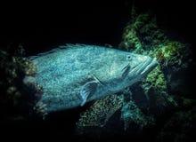 Pesce della coda della pagaia Fotografie Stock Libere da Diritti