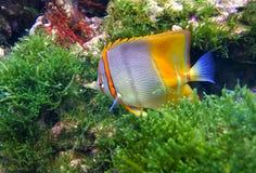 Pesce della farfalla Immagine Stock