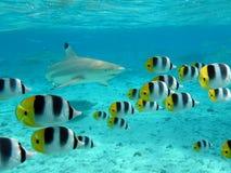 Pesce della farfalla e dello squalo fotografia stock libera da diritti