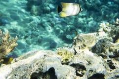 Pesce della farfalla vicino ad un corallo Immagine Stock