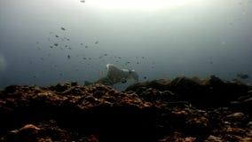 Pesce della rampa della manta subacqueo su fondo di fondale marino stupefacente in Maldive archivi video