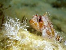 Pesce della roccia immagine stock