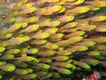 Pesce della scuola Fotografia Stock Libera da Diritti