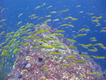 Pesce della scuola Fotografie Stock