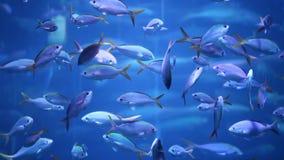 Pesce della scuola nell'acqua blu archivi video