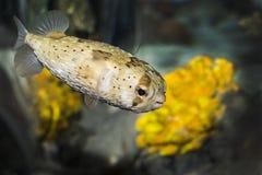 Pesce della soffiatore Fotografia Stock