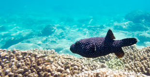 Pesce della soffiatore Immagini Stock