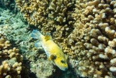 Pesce della soffiatore Fotografia Stock Libera da Diritti
