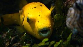 Pesce della soffiatore che alza dall'erba del mare fotografie stock libere da diritti