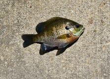 Pesce della specie di lepomide su calcestruzzo Fotografia Stock