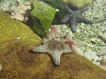Pesce della stella Immagine Stock