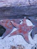 Pesce della stella acquatico immagini stock libere da diritti