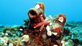Pesce della stella del bottone Fotografie Stock Libere da Diritti
