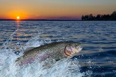 Pesce della trota che salta con la spruzzatura in acqua fotografia stock
