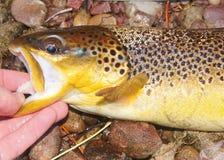 Pesce della trota fario Fotografie Stock
