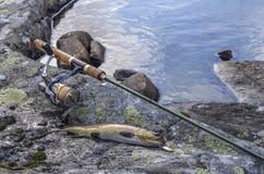 Pesce della trota fario ed attrezzatura di pesca pescati immagini stock