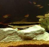 Pesce della volpe di volo Fotografia Stock