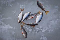 Pesce di acqua dolce su ghiaccio di piccolo pesce persico del triotto fotografia stock