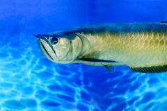 Pesce di acqua dolce tropicale di Arovana nell'acquario Fotografia Stock Libera da Diritti
