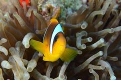 Pesce di anemone Fotografia Stock