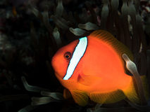 Pesce di anemone Immagini Stock Libere da Diritti