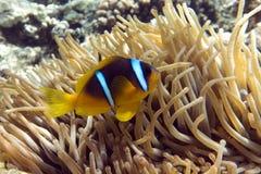 Pesce di anemone (bicinctus del Amphiprion)) con il piccolo bambino nei precedenti con l'anemone Fotografia Stock