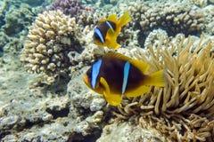 Pesce di anemone (bicinctus del Amphiprion)) nei precedenti con l'anemone Immagini Stock Libere da Diritti