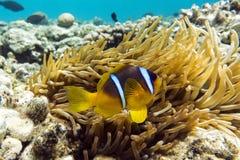 Pesce di anemone (bicinctus del Amphiprion)) nei precedenti con l'anemone Immagini Stock