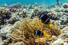Pesce di anemone (bicinctus del Amphiprion)) nei precedenti con l'anemone Immagine Stock Libera da Diritti
