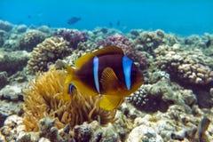 Pesce di anemone (bicinctus del Amphiprion)) nei precedenti con l'anemone Coral Reef Fotografia Stock Libera da Diritti