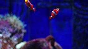 Pesce di anemone o pesce del pagliaccio Acquario o Oceanarium, carro armato di pesce, Coral Reef, animali stock footage