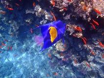 Pesce di angelo Fotografie Stock