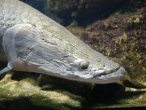 Pesce di Arapaima Fotografia Stock Libera da Diritti