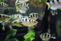 Pesce di Archer, pesce del cannello ossidrico Fotografia Stock Libera da Diritti