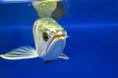 Pesce di Arowana Immagine Stock Libera da Diritti