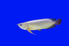 Pesce di Arowena Fotografia Stock