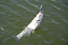 Pesce di asp fotografia stock