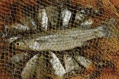 Pesce di Belanak immagine stock libera da diritti
