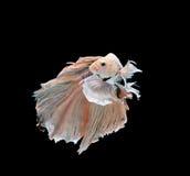 Pesce di betta della mezza luna Immagine Stock Libera da Diritti