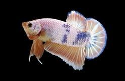 Pesce di Betta isolato sul nero Fotografia Stock