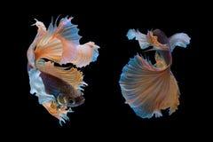 Pesce di betta di mezzaluna Immagini Stock Libere da Diritti