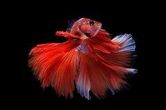 Pesce di betta di mezzaluna Fotografia Stock