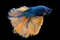 Pesce di betta di mezzaluna Fotografie Stock Libere da Diritti