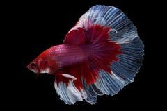 Pesce di betta di mezzaluna Immagini Stock