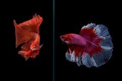 Pesce di betta di mezzaluna Immagine Stock