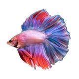 Pesce di Betta, pesce siamese di combattimento Fotografia Stock Libera da Diritti