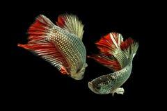 Pesce di Betta rosso rame Fotografie Stock