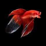 Pesce di Betta sul nero fotografia stock