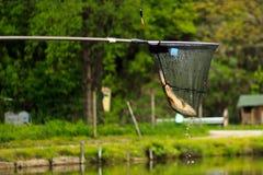 Pesce di Catched Fotografia Stock Libera da Diritti