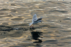 Pesce di cattura del gabbiano Fotografie Stock Libere da Diritti